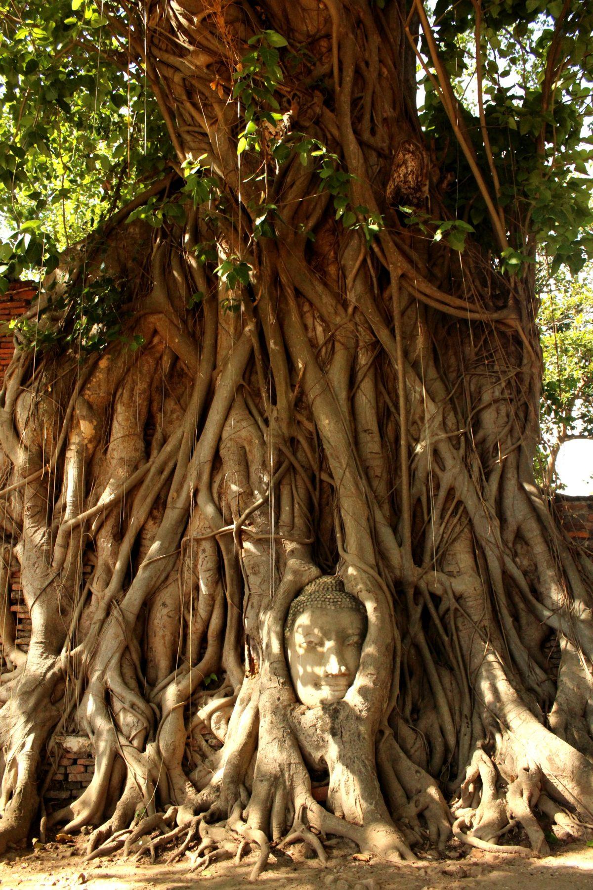 Wat Phra Mahathat - Testa del Buddha