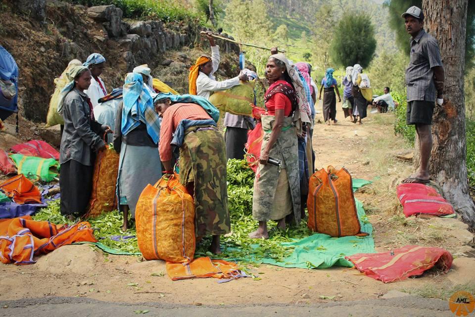 Donne raccolgono tè, Sri Lanka