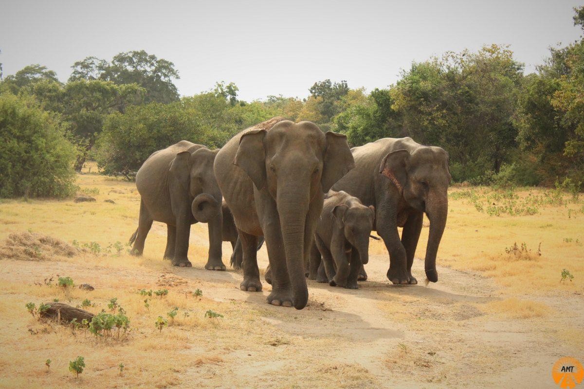 Elephants in Kaudulla Park Safari, Sri Lanka