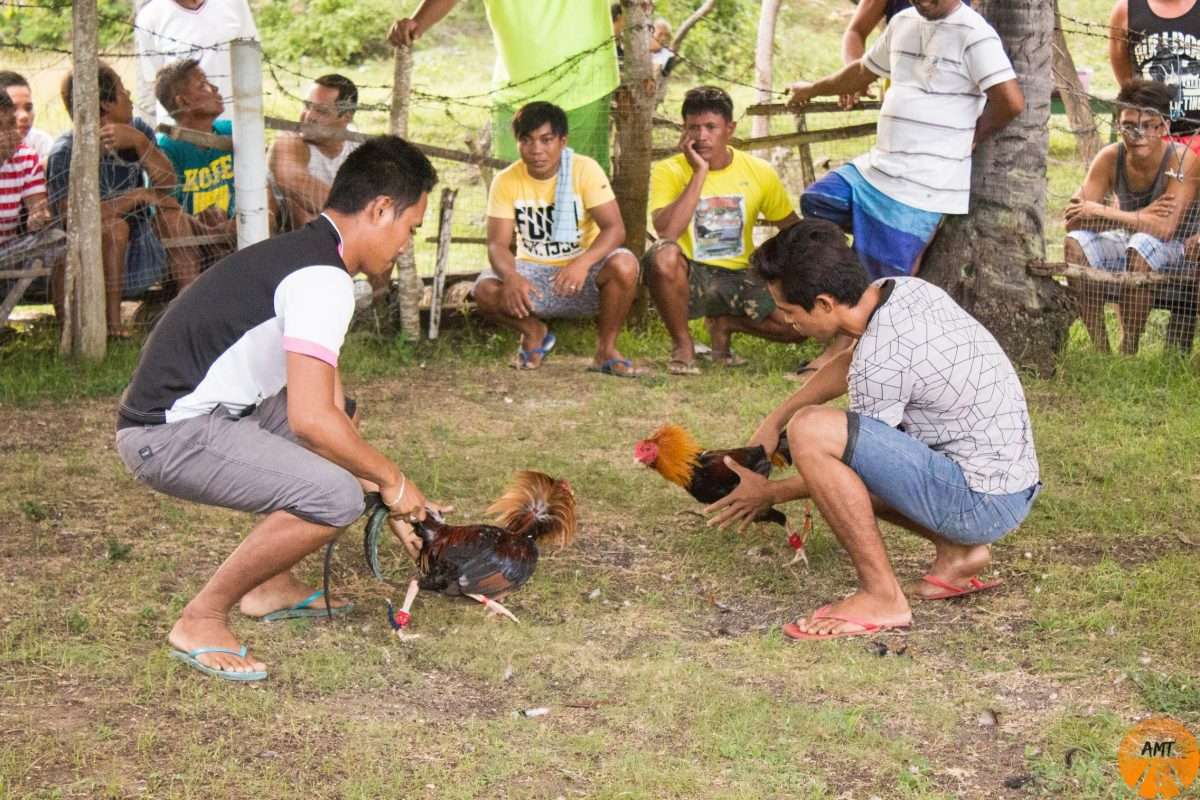 cock fighting philippines