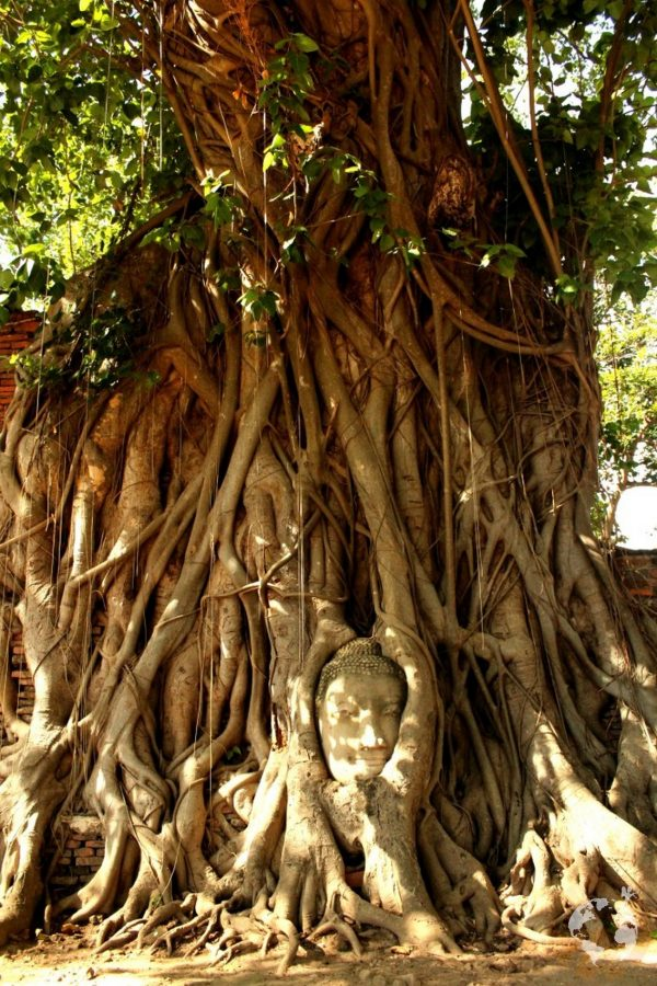 Buddha head in tree where is it Ayutthaya