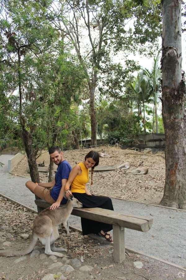 wild kangaroos queensland cairns