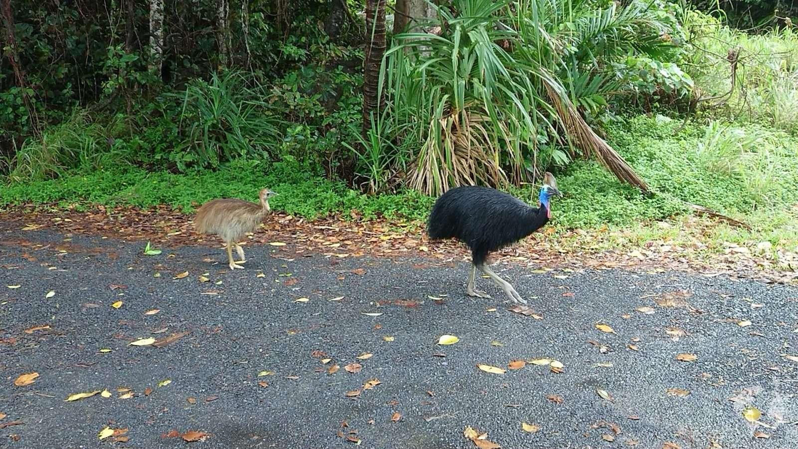 cassowary etty bay