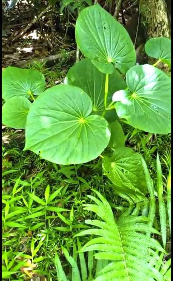 Kava plant vanuatu drink
